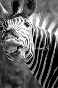 2099260-zebra-011